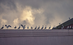 A pigeon party (bluesbby) Tags: pigeon bird fowl clouds building roof