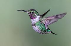 Purple-throated woodstar (male) (Eric Gofreed) Tags: calliphloxmitchellii ecuador guangolodge hummingbird multiflashphotography purplethroatedwoodstar