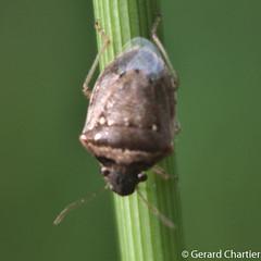 Eysarcoris ventralis (White-spotted Stink Bug) (GeeC) Tags: tatai animalia nature arthropoda pentatominae insecta eysarcorisventralis pentatomoidea kohkongprovince cambodia hemiptera pentatomidae eysarcoris stinkbugs whitespottedstinkbug