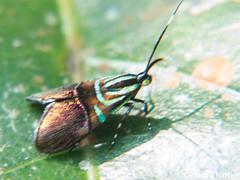 Saptha divitiosa (GeeC) Tags: tatai animalia nature choreutoidea lepidoptera arthropoda kohkongprovince choreutidae saptha insecta cambodia butterfliesmoths metalmarkmoths ឃុំឫស្សីជ្ kohkong sapthadivitiosa