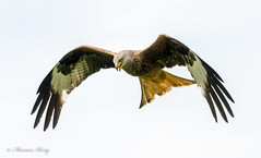 Red Kites 23-Jun-19 M_002 (gomo.images) Tags: 2019 bird country dumfriesandgalloway nature redkites scotland years