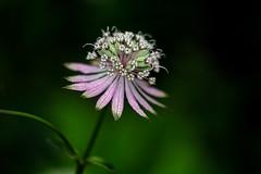 Astrantia (Maureen Pierre) Tags: macro flower xt2 fujifilm christchurchbotanicgardens closeup single