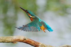 K32P0495c Kingfisher, Lackford Lakes, October 2019 (bobchappell55) Tags: lackfordlakes suffolk wild wildlife nature bird flying kingfisher alcedoatthis