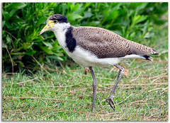 Masked lapwing juvenile (Plover) (Bear Dale) Tags: masked lapwing juvenile plover scientific name vanellus miles nikkor afs 200500mm f56e ed vr ulladulla southcoast new south wales shoalhaven australia beardale lakeconjola fotoworx milton nsw nikond850 photography framed nature nikon bear d850 bird young chick naturephotography naturaleza feathers pattern