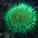 Sunburst Anemone (Anthopleura sola) flourescing at night under black light (Robin Agarwal (ANudibranchMom on iNaturalist)) Tags: