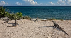 Tulum Ruin resident Iguanas keeping watch. Tulum, Zona Arqueológica (Freshairphotography by Janis Morrison) Tags: tulum tulummexico tulumruins mayanruins mayanriviera yucatan yucatanpeninsula iguana caribbeansea caribbean ruins archaeologicalsite zonaarqueológica mexico