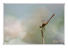 500_1841-21-08-2017 odonate-02-10-2017 (Alain Bayeul) Tags: libellule nikond500 300mm été france tarn odonate dragonfly dragonflies