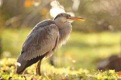 Grey heron (Teruhide Tomori) Tags: greyheron animal nature bird kyoto japan wild アオサギ 自然 京都 日本 green 野生 野鳥 japon aquaticbird