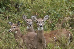 3 Ladies (Sandra Mahle) Tags: deer doe whitetail animal nature canonphotography canon naturephotography ngysa
