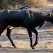 Nilgai (asheshr) Tags: nilgai bluebull incredibleindia jhalanaleopardsafari nikkon200500mm nikkond7200 rajasthan wildanimal wildlife 61019