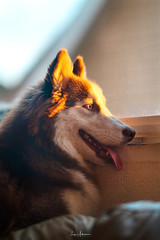 Denali's Winter Sunset (JUNEAU BISCUITS) Tags: dog husky siberianhusky pet mansbestfriend sonya7riii sony hawaii hawaiiphotographer alaskanmalamute