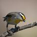 Striated Pardalote (Pardalotus striatus) (Mickspixx) Tags: