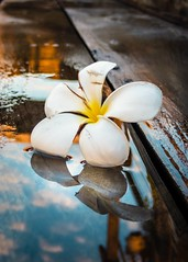 Flower (ainz1607) Tags: flower water olympus tg5 tg6 reflection pool delicate art beautiful contrast wet
