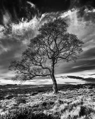 Winter tree (l4ts) Tags: landscape derbyshire peakdistrict darkpeak birchtree lawrencefield moorland blackwhite monochrome cloudscape clouds appicoftheweek
