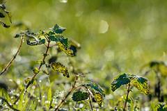 ... green ... (wolli s) Tags: nikon d7100 sigma 150500 green brennessel nettle stiningnettle bokeh