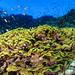 Coral lechuga. (VICENTE PLANELLS RAMON) Tags: coral verde lechuga marrojo