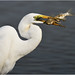 Great Egret (Ardea alba) 大白鷺 - 221119_DSC4295n (KK Hui Avian) Tags: greategret ardeaalba 大白鷺 egret waterbird bird