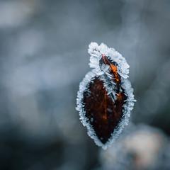 The Frozen Heart (ursulamller900) Tags: tessar2850 extensiontube 12mm makroring bokeh leaf blatt mygarden frozen hoarfrost raureif winter