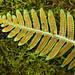 Licorice Fern (Mr_Tambourine_Man) Tags: polypodiumglycyrrhiza fern licoricefern maycreekpark maycreektrail moss newcastle sori washington