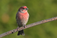 House Finch (brian.bemmels) Tags: housefinch finch haemorhousmexicanus haemorhous mexicanus nature fauna outdoors outside wildlife bird birdsofbc richmond bc britishcolumbia canada