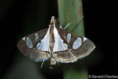 Glyphodes sp. (GeeC) Tags: tatai animalia crambidae nature cambodia arthropoda insecta kohkongprovince spilomelinae lepidoptera pyraloidea glyphodes butterfliesmoths khumruesseichrum