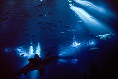 Oceanário de Lisboa (bruno vanbesien) Tags: lisboa portugal aquarium fish