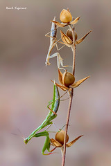 Mantis (Raul Espino) Tags: 2019 canon100mml canon6dmarkii heliconfbtube macro macrofotografia mantisreligiosa natural naturaleza sevilla insectos