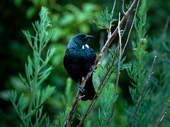 Fine Tui (stewartbaird) Tags: bird avian tui newzealand wildlife birds nature