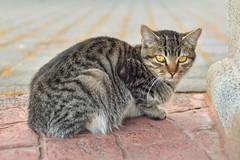 Kitty (PLawston) Tags: la palma canary islands spain fajana cat