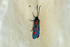 03998 Six-spot Burnet (Zygaena filipendulae), Vranja, Coratia (Terathopius) Tags: sixspotburnet zygaenafilipendulae zygaenidae zygaeninae vranja istria croatia moth lepidoptera arthropod entomology insect invertebrate macro closeup animal fauna wildlife wildlifephotography nature naturephotography naturaleza natureza outside canon5d canon
