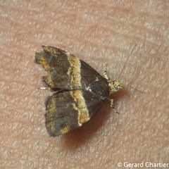 Choreutis basalis (GeeC) Tags: choreutis tatai animalia choreutoidea cambodia lepidoptera kohkongprovince insecta nature arthropoda choreutidae butterfliesmoths metalmarkmoths ឃុំឫស្សីជ្ kohkong choreutisbasalis