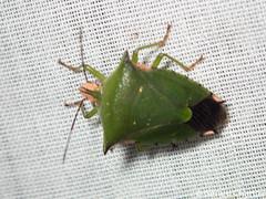Sabaeus humeralis (GeeC) Tags: tatai animalia cambodia sabaeushumeralis pentatominae nature arthropoda pentatomidae kohkongprovince insecta hemiptera sabaeus pentatomoidea stinkbugs ឃុំឫស្សីជ្ kohkong