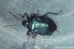 Zicrona caerulea (Blue Shield Bug) (GeeC) Tags: zicrona tatai animalia cambodia pentatominae kohkongprovince arthropoda nature zicronacaerulea insecta hemiptera pentatomidae pentatomoidea blueshieldbug stinkbugs
