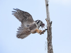 Northern Hawk Owl with lunch (Bill McDonald 2016) Tags: northernhawkowl billmcdonald northernontario ontario prey owl rare perched perching inflight 2019 december canada raptor