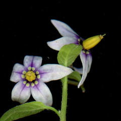 60043.01 Solanum dulcamara (horticultural art) Tags: horticulturalart solanumdulcamara solanum nightshade flowers closeup