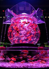 Art Aquarium (Mutchi627) Tags: fish gold goldfish bowl tank fishbowl fishtank art light aquarium exhibition tokyo japan pink dark water flow swim