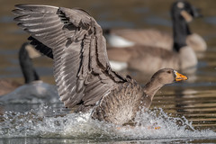 Greater White-Fronted Goose (explored 12/13/19) (Kevin E Fox) Tags: greaterwhitefrontedgoose anseralbifrons huntingdonvalley pennsylvania pa pennypackecologicalrestorationtrust bird birding birdwatching birds birdphotography sigma150600sport sigma nature nikond500 nikon
