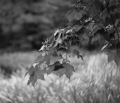 Leaves with a Twist (Elisafox22) Tags: elisafox22 sony nex6 lensbaby twist60 optic monochromethursday hmt monochromebokehthursday hmbt monochrome bokeh outdoors bw blackandwhite sunshine branches leaves shadows trees fyviecastle aberdeenshire scotland lochsidewalk inedita talkingdigitalphotography blog website elisaliddell©2019