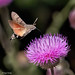 Hummingbird Hawk-Moth - Moro Sphinx (Bruno Conjeaud) Tags: