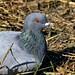 Nesting Rock Pigeon (Darts5) Tags: rock rockdove rockpigeon pigeon pigeons bird birds birdseye animal nature redeyedbird 7d2 7dmarkll 7dmarkii 7d2canon ef100400mmlll closeup canon7d2 canon7dmarkii canon7dmarkll canon canonef100400mmlii