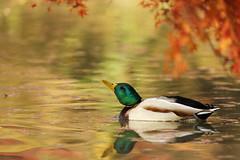 Playing in the autumn pond (Teruhide Tomori) Tags: kyoto japan japon animal bird wild fuck pond カモ aquaticbird 野生 冬鳥 日本 京都 水鳥 water