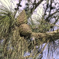 Pine Cones (Mr.LeeCP) Tags: pinecones pines pinetrees needles tree nature