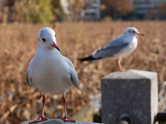 P1190434 - Two Gulls at 50mm f/5.0 (kneo_y) Tags: 上野公園 dmcg8 35100 gull lotus pond bokeh dof カモメ 鴎