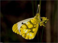 Bandera española. (josemph) Tags: olympus e3 sigma 105mm macro zuiko ec14 insectos lepidópteros piéridos banderaespañolaanthocharis belia