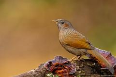 Streaked laughing thrush (shoothekuruvi) Tags: birds wildlife indianwildlife flickrbirds nikond750 himalayas himalaya nikon birding indianbirds tropical bird
