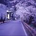 (✞bens▲n) Tags: minolta cle kodak e100vs summilux 50mm f14 film analogue slide road sakura nagano japan cherry blossom trees