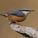 NUTHATCH....Powys (Woodcock65) Tags: