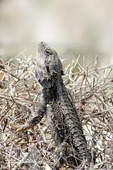 Strange Fruit (blackcatcraft) Tags: beardeddragon lizard