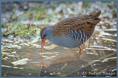 """Here's Looking at Me Kid !"" - Narcissistic Water Rail! (www.andystuthridgenatureimages.co.uk) Tags: rail water closeup foraging pond bird slimbridge www hide willowhide canon wildlife photography"
