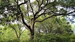Oak trees (ciscoaguilar) Tags: tree oak bellingrath garden theodore alabama
